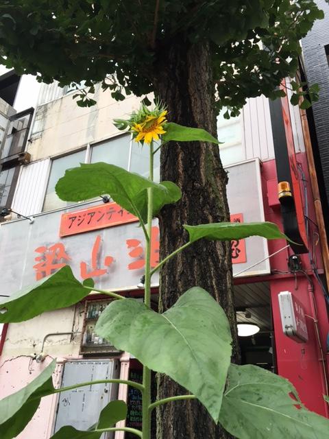 夏のおまけ的ヒマワリ1.JPG